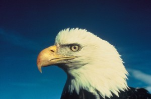 1280px-Bald_eagle