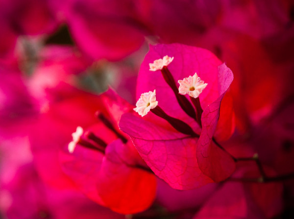 Close up of bougainvillea flowers