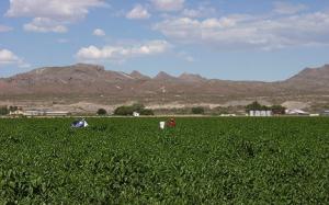 Chile Field