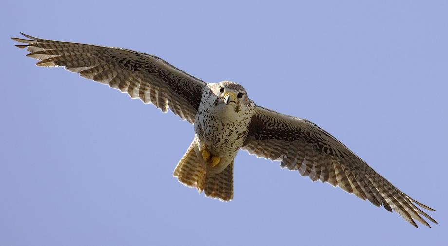 Prairie Falcon  Dave DeWitt
