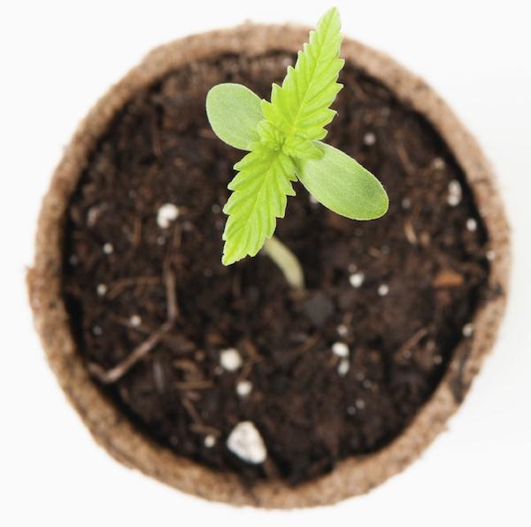 Just sprouted marijuana seedling
