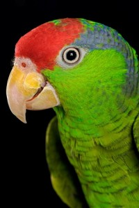 Red-Headed Amazon Parrot