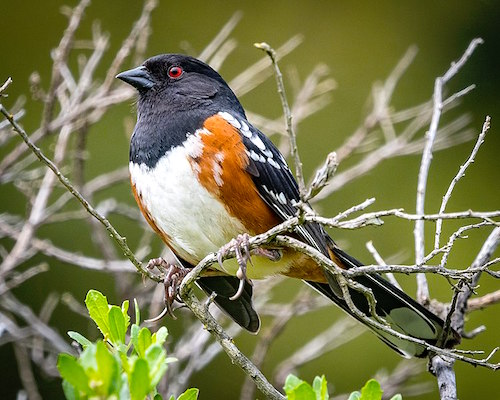 0fa29fd7a5dc Spotting Of The Month  Spotted Towhee