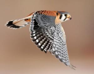 Kestrel in flight.