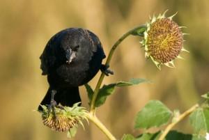 Redwing Blackbird on Wild Sunflowers