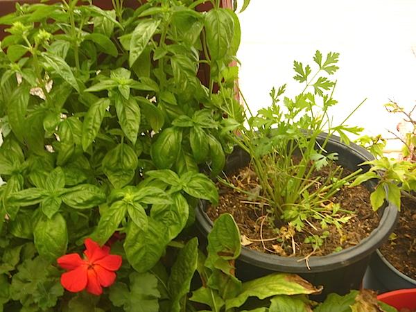 Basil and Italian parsley