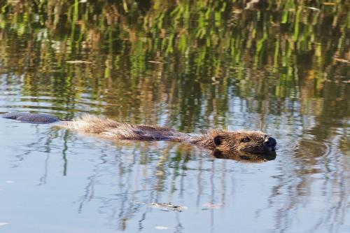 Bosque Beaver