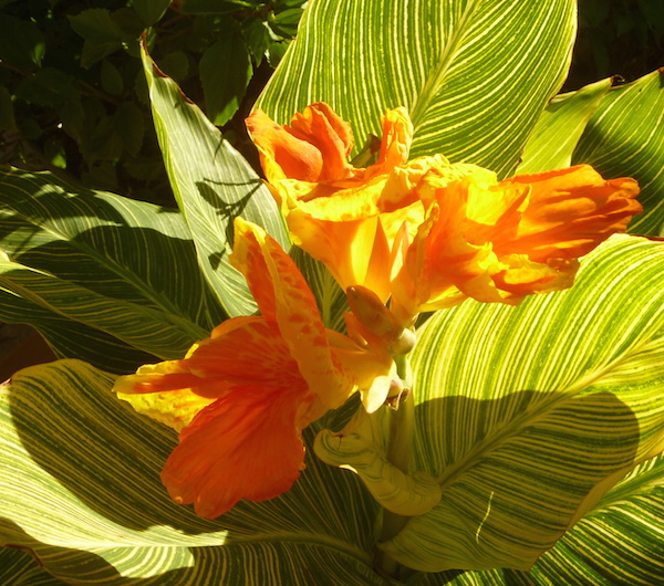 Flower of a variegated Canna (it's not a true lily).