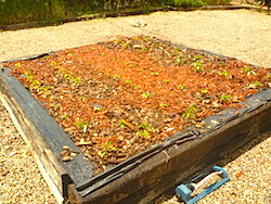 The chile garden is overwhelmed by the red bark mulch,