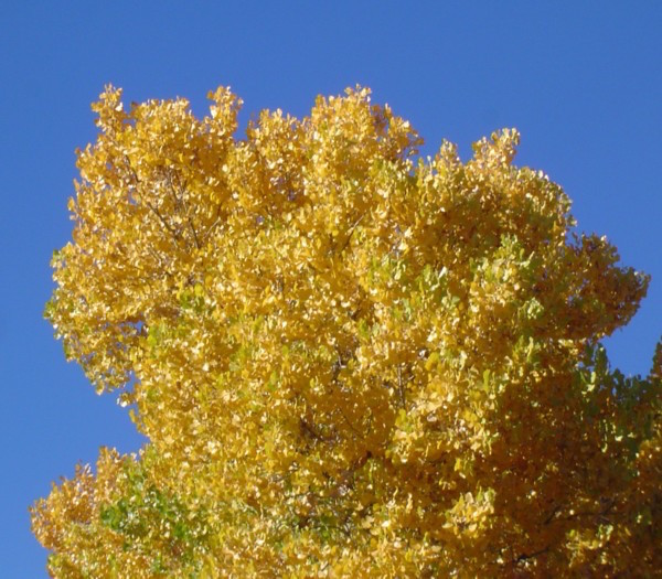 Cottonwoods Against Sky 2_