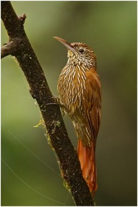 Woodcreeper in the Tandayapa Valley of Ecuador.