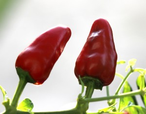 Facing Heaven chillis, one of the most popular varieties grown in Zunyi.
