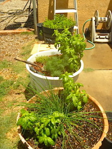 We're already using the chives, basil, dill, and mint. Plus we have oregano, sage, Italian parsley, and thyme in other herb gardens.