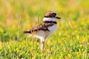 Killdeer-Chick