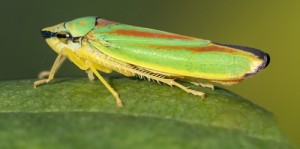 Rhododendron leafhopper sitting on a rhododendron leaf