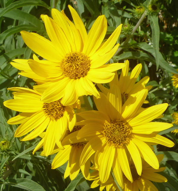 Maxillian Sunflowers