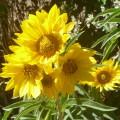 maximillian daisies