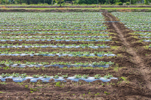 Acres planted watermelon, which is covered with plastic and watered with PVC pipe.