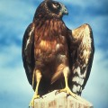 Northern_Harrier_USFWS