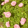Simplicity Roses
