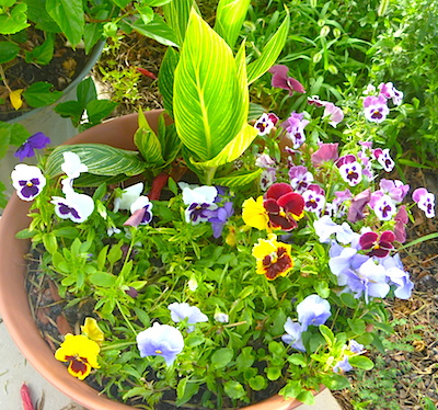 Pansies and Canna