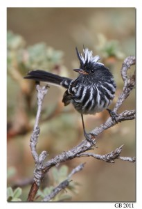 Pied-crested Tit-Tyrant in Peru.