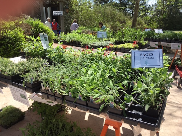 At the plant sale, I was amazed by the selection of sages, oreganos, thymes, and other herbs.