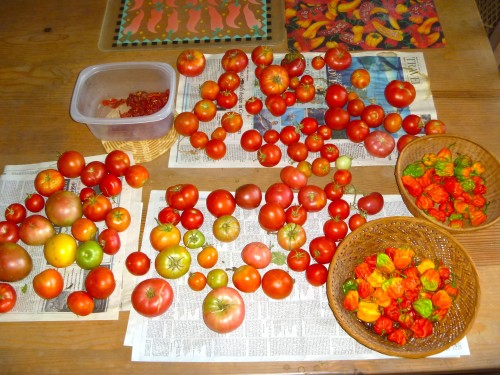 Tomatoes and chiles ripening.