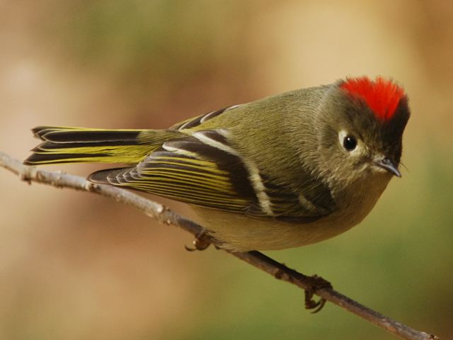 Ruby-crowned+Kinglet+2010-12-02+Budnitz