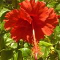 Ruffled Red Hibiscus