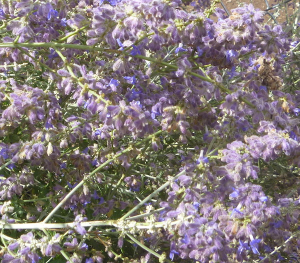 Russian Sage is a bit invasive, so you have to watch it carefully.