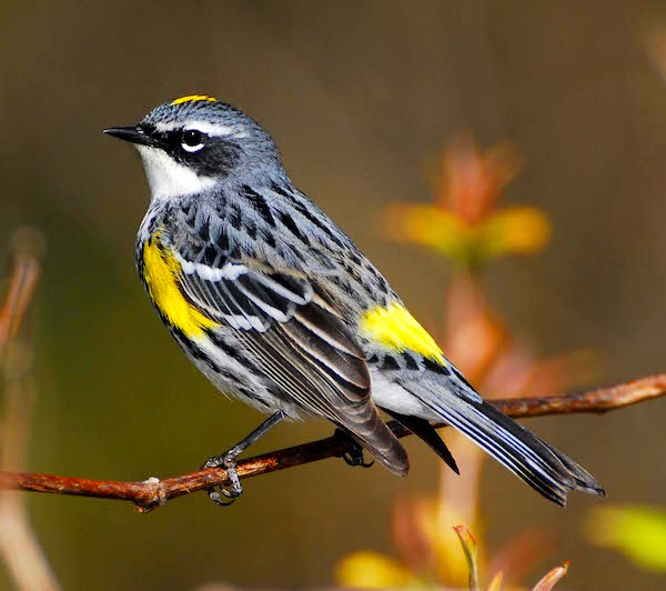 Audubon's Yellow-Rumped Warlber