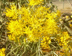 Flowers of a sage called rabbitbrush. Note the honeybee at work at the bottom of the image.