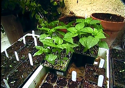 Dave's Chile-Growing Tips