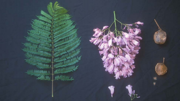 Life Cycle of a Jacaranda