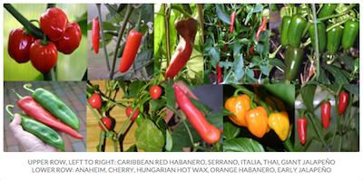 Some Pepper Varieties
