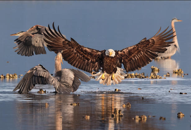 Bald Eagle and Great Blue Heron