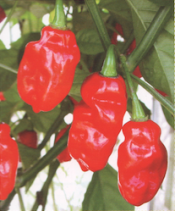 Tobago Seasoning Pepper