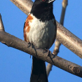 Uncommon in the South Valley, this is a spotted towhee.