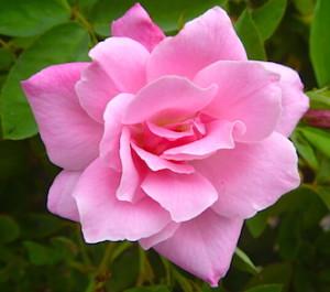 Simplicity Rose