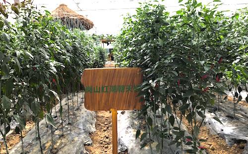 Tall Chilli Plants copy