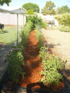 The tomato garden, July 8, 2015.