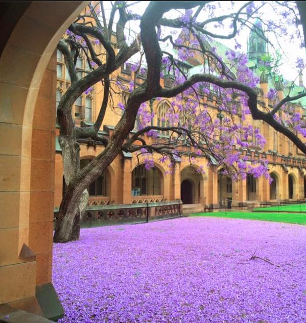 University of Sydney and Jacarandas