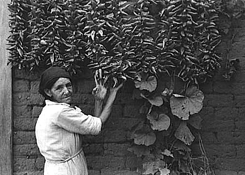 A grower admires her ristras.