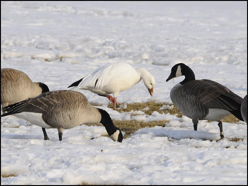 Snow Goose Among the Canada Geese
