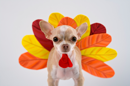 chihuahua as turkey