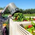 chile harvesting