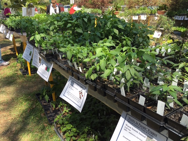 Chile plants for sale at the plant sale to benefit the Herb Society of America.