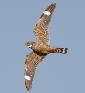 This is the bird that set the record of 30 species in one 4-mile walk, a lesser nighthawk.