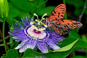 martino_passion-flower-butterfly